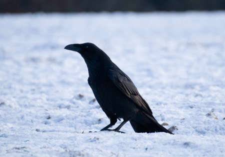 Raven - Corvus corax Stock Photo - 16730491