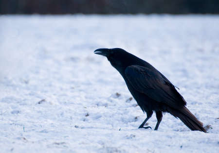 Raven - Corvus corax Stock Photo - 16730497