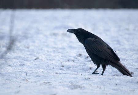 Raven - Corvus corax Stock Photo - 16730458