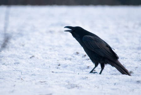 Raven - Corvus corax Stock Photo - 16730467