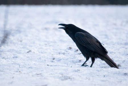 Raven - Corvus corax Stock Photo - 16730467