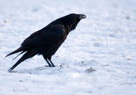 Raven - Corvus corax Stock Photo - 16730498