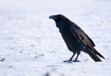 Raven - Corvus corax Stock Photo - 16730499