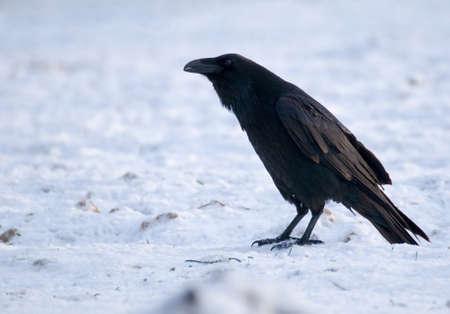 Raven - Corvus corax Stock Photo - 16730489