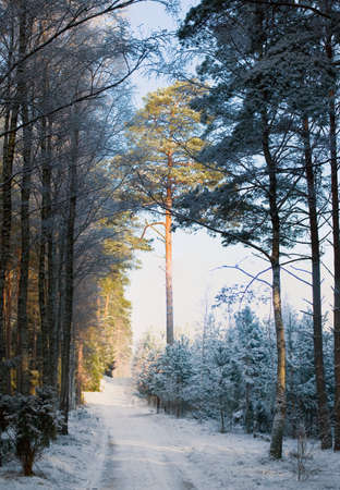 Winter pine forest photo