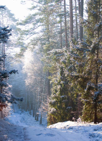 Winter pine forest Stock Photo - 16757132