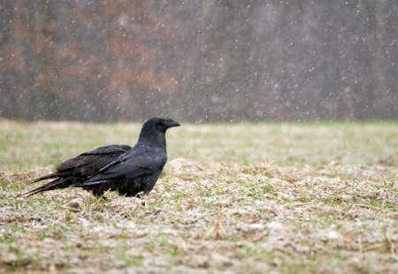 Raven - Corvus corax Stock Photo - 16757122