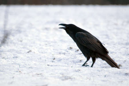 Raven - Corvus corax Stock Photo - 16757099