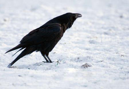 Raven - Corvus corax Stock Photo - 16757064