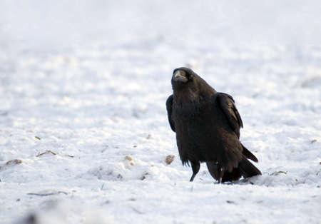 Raven - Corvus corax Stock Photo - 16757068