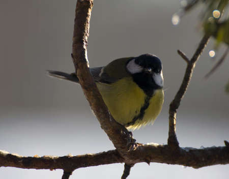Parus major - Tit Stock Photo - 16757111