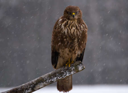 Buzzard - Buteo buteo photo