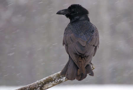 Raven - Corvus corax photo