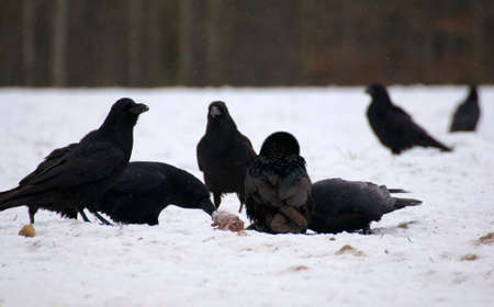 Raven - Corvus corax Stock Photo - 16841257