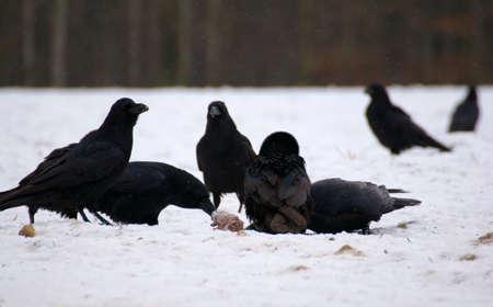 Raven - Corvus corax Stock Photo - 16841257