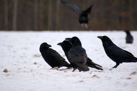 Raven - Corvus corax Stock Photo - 16841308