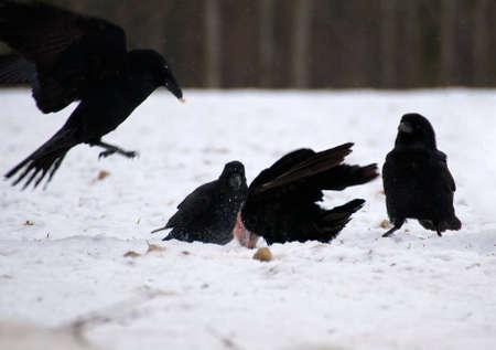 Raven - Corvus corax Stock Photo - 16841060