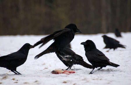Raven - Corvus corax Stock Photo - 16841218