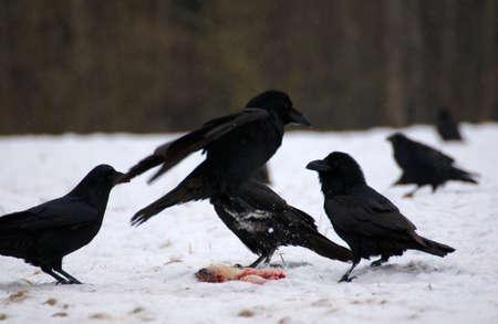 Raven - Corvus corax Stock Photo - 16841218