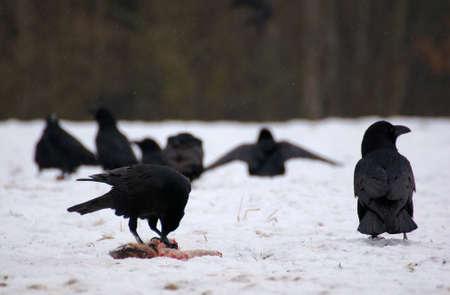 Raven - Corvus corax Stock Photo - 16841203
