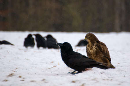 Buzzard and ravens Stock Photo - 16858985