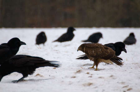 Buzzard and ravens Stock Photo - 16859009
