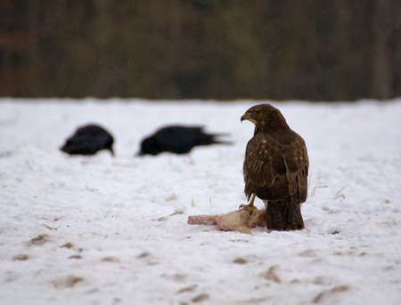 Buzzard and ravens Stock Photo - 16859000