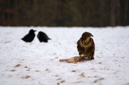 Buzzard and ravens photo