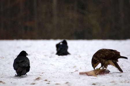 Buzzard and ravens Stock Photo - 16842501