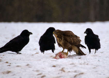 Buzzard and ravens Stock Photo - 16858988