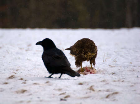 Buzzard and ravens Stock Photo - 16842193