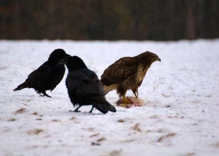Buzzard and ravens Stock Photo - 16842554