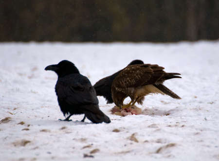 Buzzard and ravens Stock Photo - 16858994