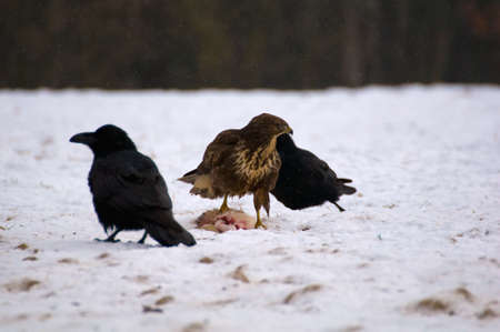 Buzzard and ravens Stock Photo - 16842624