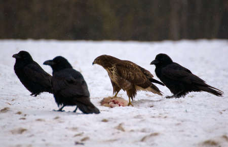 Buzzard and ravens Stock Photo - 16842519