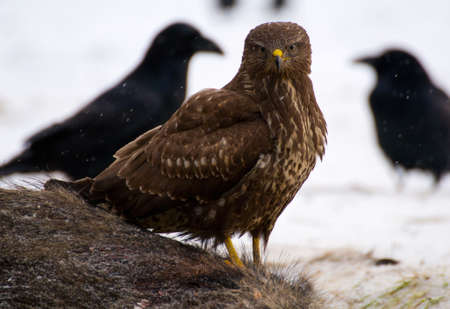 Buzzard - Buteo buteo Stock Photo - 16859026