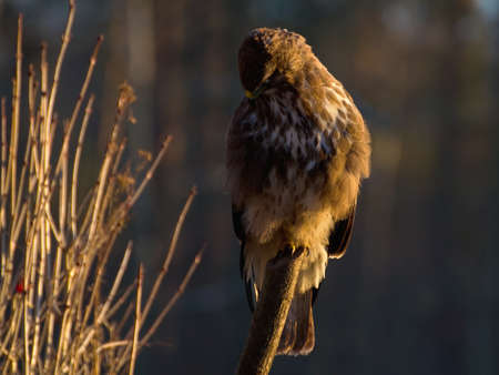 Buzzard - Buteo buteo Stock Photo - 16878049