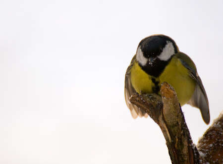tom tit: Parus major - Tit