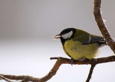 Parus major - Tit Stock Photo - 16878048