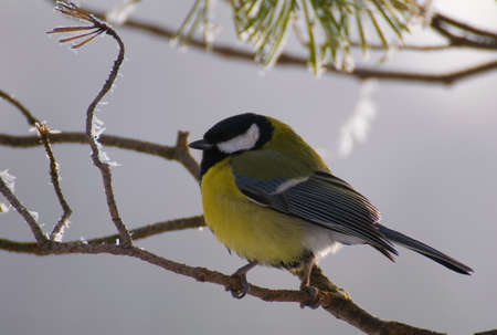 Parus major - Tit photo