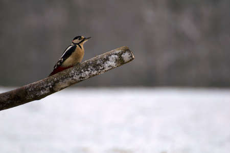 dendrocopos: Woodpecker - Dendrocopos major