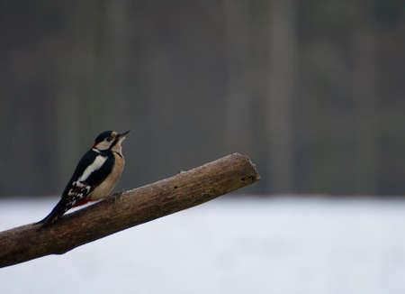 dendrocopos: Woodpecker - Dendrocopos major