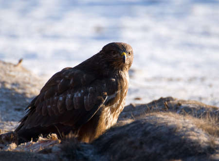 Buzzard Stock Photo - 16996294