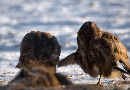 bird eating raptors: Buzzard Stock Photo