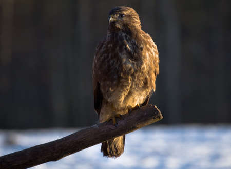dignified: Buzzard Stock Photo