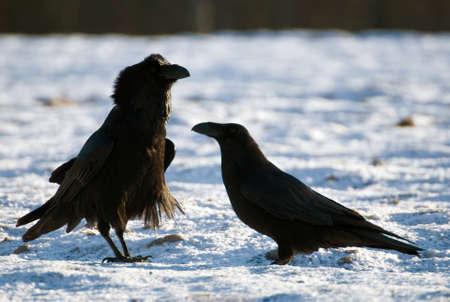 Raven Stock Photo - 16996356