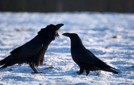 Raven Stock Photo - 16996399