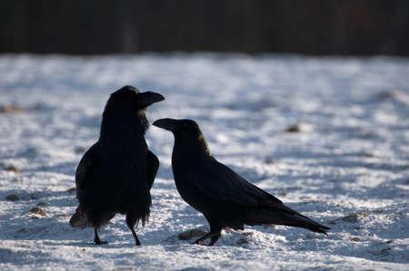 Raven Stock Photo - 16996400