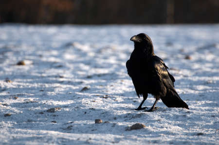 Raven Stock Photo - 16996429