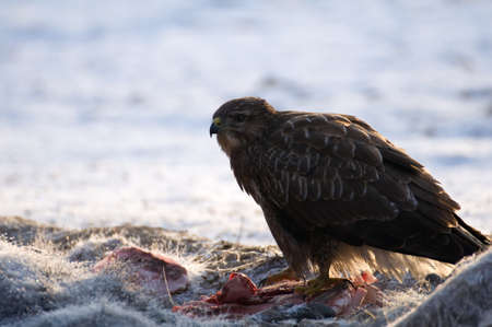 buzzard: Buzzard Stock Photo